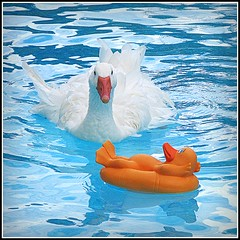 Who's this?? (birdyboo) Tags: goose swimmingpool sebastopol picnik onblue yellowduck featheryfriday mywinners