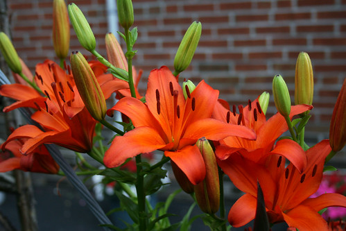 Orange tiger Lilies 3