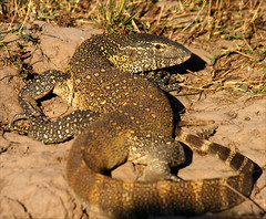 Water Monitor (Gail Steeden (Delderfield)) Tags: botswana watermonitor chobenationalpark