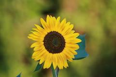 IMG_5463 (Blackavar Lion) Tags: flowers sun flower nature fleur beautiful colorful pretty bright blossom bokeh flor bee bloom lovely  blume abeja tournesol abeille girasol bij biene  bloem sonnenblume zonnebloem hymenoptera      apoidea  canonrebelxti  anthophila  2be2176f59cfac7c3f99b44a73b29c9b