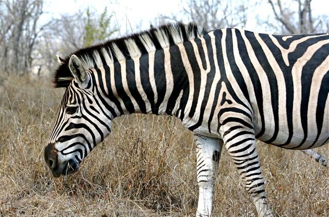day 8: S86: zebra