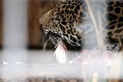 Beestachtige verscheuring (LiesBaas) Tags: food animal pix foto eating picture pic kip jaguar tear eten artis instinct circleoflife colourphoto maaltijd kleurenfoto liesbb verscheuren