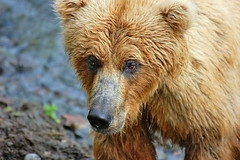 Brown Bear at Brooks Falls (Scott Michaels) Tags: bear usa nature alaska nationalpark nikon wildlife coastal ursus brownbear salmonrun ursusarctos brooksfalls katmai brooksriver d40 katmainationalpark nikkor70300vr fantasticwildlife