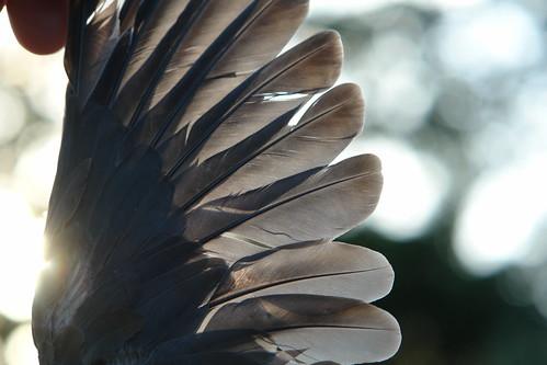 Mexican Dove