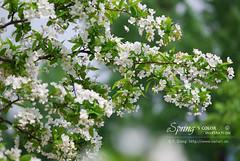 2008_04240041 (chinaphila) Tags: flower flora prunus cerasus rosaceae