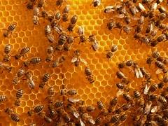 P1130601 bresca (calafellvalo) Tags: abejas bee honey miel wax honeycomb honeybee swarm cera biene apicultura panal enjambre apiculture bresca abeill
