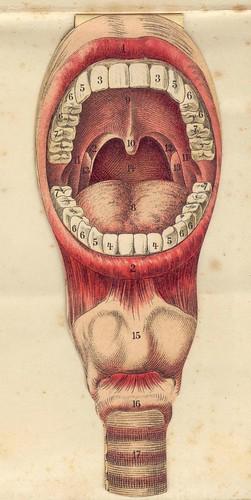 anato bouche