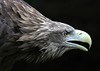 Sea-eagle - Seeadler (pe_ha45) Tags: searchthebest seaeagle whitetailedseaeagle whitetailedeagle seeadler haliaeetusalbicilla pigargo platinumheartawards natureoutpost pygargueàqueueblanche grandaigledemer águilamarina aiglebarbu pigaroeuropeo
