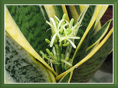Our Sansevieria trifasciata 'Golden Hahnii' has bloomed, shot Sept 28, 2008 morning