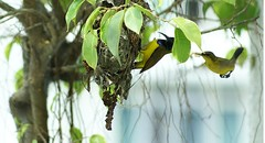 Sunbird Male and Female 1 (stuartwsl) Tags: bird inflight birdnest sunbird wingedseed malesunbird famalesunbird dartingflight