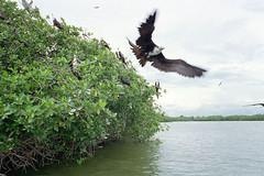 ave fragata en manglares de Tumbes, Peru