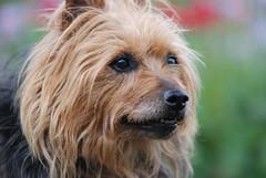 Australian terrier. (dan/fromtas) Tags: summer hairy dog animal animals closeup nikon bokeh sigma australia tasmania hoya supershot sigma70200 d80 wonderfulworldmix