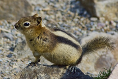 Golden-Mantled Ground Squirrel (sminky_pinky100 (In and Out)) Tags: canada rockies critter wildlife adorable alberta cuteasabutton personalbest goldenmantledgroundsquirrel mywinners abigfave omot eyejewel
