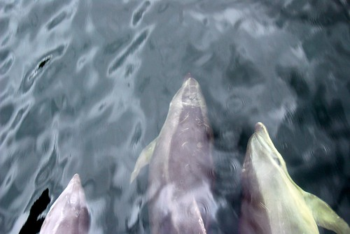 dolphins swimming with our boat