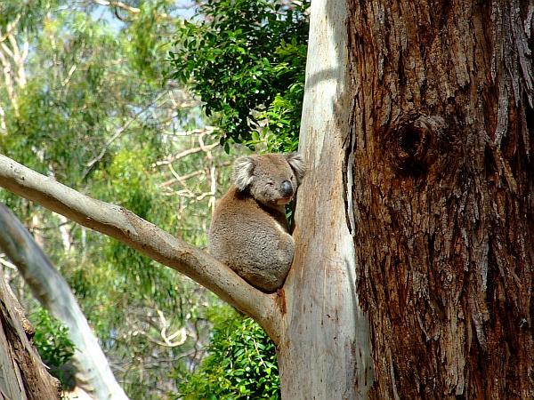 cute koala 02