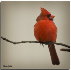 Mr. Red (ShutterByMe) Tags: friends bird oklahoma birds searchthebest oklahomacity cardinals cardinaliscardinalis songbirds northerncardinal wildbirds blueribbonwinner backyardbirds supershot oklahomawildlife mywinners platinumphoto anawesomeshot citrit canon40d goldstaraward tamronspaf200500mmf563di ©lanatrussell wwwshutterbymecom genuscardinalis
