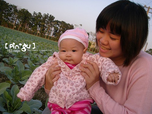 pingu 和花椰菜田