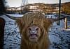 Schottisches Hochlandrind (ysch) Tags: sun snow landscape cow highlandcattle sauerland schottischeshochlandrind oberschledorn