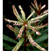 Moutain Banksia sapling Gloucester Tops