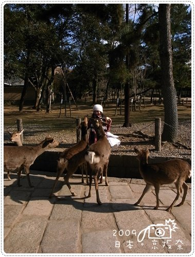 奈良的鹿 (10)