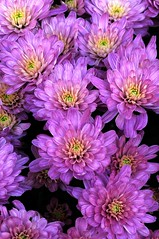Chrysanthemum 1, Colorado (sethgoldstein72) Tags: thatsclassy worldofflowers theopenartexhibitionofphotography thegoldenflowersandbutterflies beautifulflowersgallery coloursofflowers powerofflowers theflowerbasketgroup ~~mescoupsdecoeuretceuxdemesamis~~ exquisiteflowers weloveallflowers top25purplepinkandblue mycolorfulflowers floraandfaunaoftheworld ddsnet photogarden pink|purple|green allwelcome concordians todays best beautifulcapture flaurafauna kartpostal flickrflorescloseupmacros absolutelybeautyabsolutamentebello agradephoto flowersarebeautiful effe flowersorcrystals floralfantasia aclassgroup flowersflowersflowers allkindsofmacroscloseups favoriteflowers nossasfloresourflowers excellentmacroflowers beautifulbeautifulbeautiful photosofqualitytosmileabout ~~everythingflowers~~ girlp0wer worldflowers beautifulbeautifulbeautifulclosed favoriteflowers yourpreferredpicture click ~daisyaday~ whatistriveforinphotography ~~flowers~~ beautifulflowersgroup auniverseofflowers awesomeflowers fotocommunity floresporlapaz floralia florisbella florisbellablue energiapositivaartecor galeriadascores flowers4you
