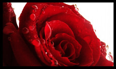 (anton3ll0) Tags: flower rose drops rosa rosso gocce goldstaraward flickrestrellas