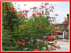 Caesalpinia pulcherrima (Dwarf Poinciana, Peacock Flower, Barbados Pride), a bush in the neighborhood