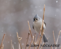 Snowy Day Titmouse (ROCKADEE - Rockey & Dee) Tags: winter snow bird nature newjersey wildlife titmouse tufted songbird birdwatcher warrencounty avianexcellence rockadee birdinginthewild thewonderfulworldofbirds