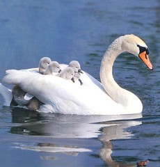 swan and baby's (Roly 12.08 ... on/of ...) Tags: nature photo nice si adorable soe beau maternit gai mignon blueribbonwinner rached specanimal rubyphotographer alittlebeauty animalscygnebebeso