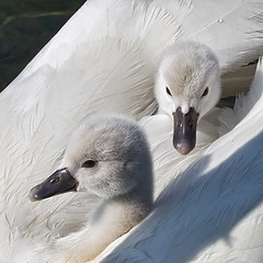 CUSHY RIDE (ddt_uul) Tags: summer white lake water swan michigan cygnet muteswan whitmorelake natureplus flickraward platinumpeaceaward flickraward5 mygearandme mygearandmepremium mygearandmebronze mygearandmesilver mygearandmegold flickrawardgallery