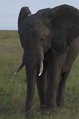 Masai Mara Safari - Elephant (Adrian Cabrero (Mustagrapho)) Tags: africa elephant animals kenya safari 7d adrian tusks masaimara wildanimals cabrero 100400 masaimaranationalreserve canon100400f4556 intrepids canon7d adriancabrero mytummytalkstome themasaimara masaimaraintrepidsclub summeronsafari