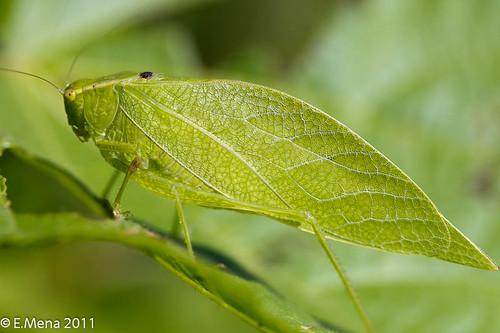 langostas insectos:
