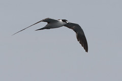 Sooty Tern (Mike Prince) Tags: india birds flickr kerala aves laridae kannur sootytern onychoprionfuscatus gullsternsandskimmers