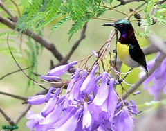 Purple-rumped Sunbird (male) (An_Tarzan) Tags: nectariniazeylonica
