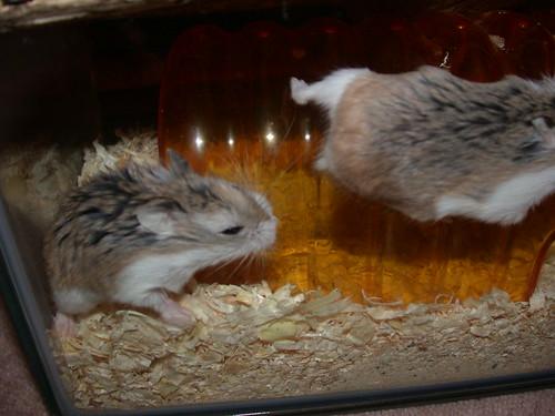 Funny roborovskis! (2) by roborovski hamsters.