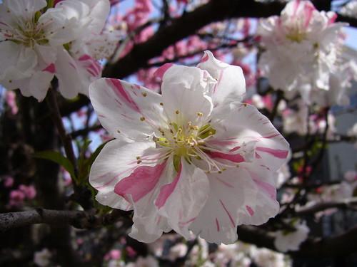 源平紅白花桃