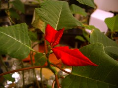 Confused Poinsettia