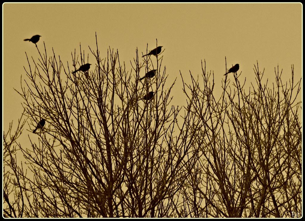 Blackbirds Facing South