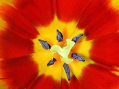 Tulip (✿ Graça Vargas ✿) Tags: flower macro tulip tulipa excellence redyellow graçavargas ©2008graçavargasallrightsreserved 26620310810