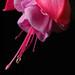 Fuchsia by Cherryrig