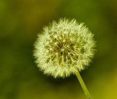 Dandelion (bahketni) Tags: macro interestingness weed flickr bokeh lawn seed dandelion mostinteresting nightmare naturesfinest bahketni weedfactory enemyofthelawn