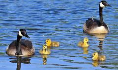 We Are Family (ozoni11) Tags: lake bird birds animal animals geese interestingness pond nikon lakes goose explore goslings wetlands gosling waterfowl ponds canadagoose canadageese wetland columbiamaryland 471 d300 wildelake interestingness471 i500 animaladdiction michaeloberman explore471 ozoni11