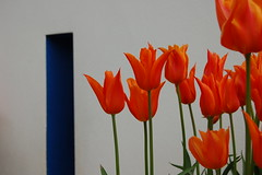 Orange tulips on white with blue window