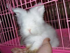 Cute paws of Latte (wardahputeri) Tags: white cute rabbit bunny coffee beautiful fur pretty comel adorable fluffy dwarfrabbit jerseywooly cuddly lil latte bun plushtoy bunbun huggable arnab plushtoys coffeelatte my mixbreedrabbit netherlandsdwarffrenchangoramixbreed arnabcomel mynameislatte lopearedangora