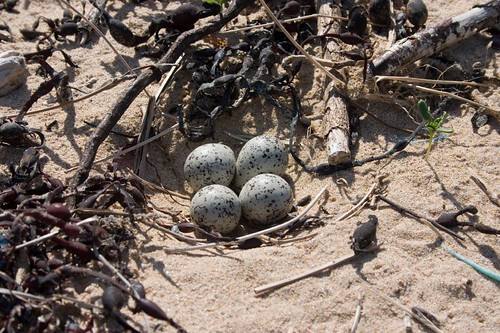 Oystercatcher eggs