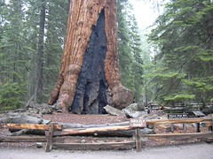 Grizzly Giant, Mariposa Grove, Yosemite