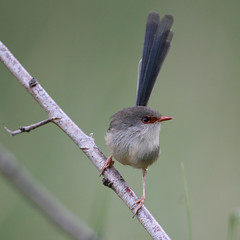 Same bird, different angle. (Greg Miles) Tags: australia nsw newsouthwales variegatedfairywren maluruslamberti calga