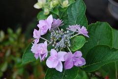 Hydrangea No.3@my house garden
