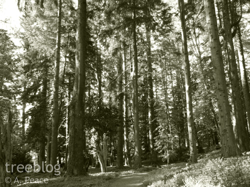 big conifers in Blair Castle's Diana's Grove