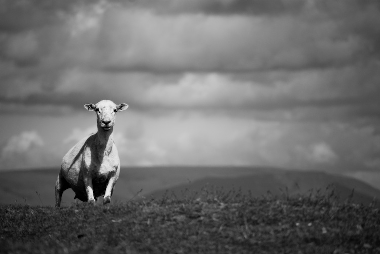 garway sheep_7789